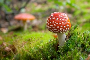 flyagaric mushroom in green moss